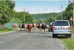 О том, чтобы автомобильные дороги были отделены от животных забором, говорить пока не приходится. Поэтому в селах такая картина – обычная как 15 лет назад, так и сегодня.