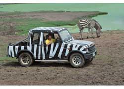 В «Сафари-парке» служители ездят на полосатых пикапах Suzuki Samurai – чтобы животные (в том числе и зебры) не пугались.