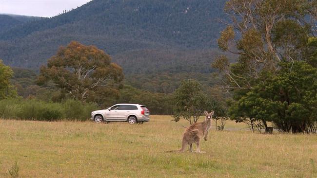Компания Volvo Cars скоро представит систему обнаружения на дороге кенгуру